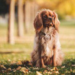 balade chiens lyonnais