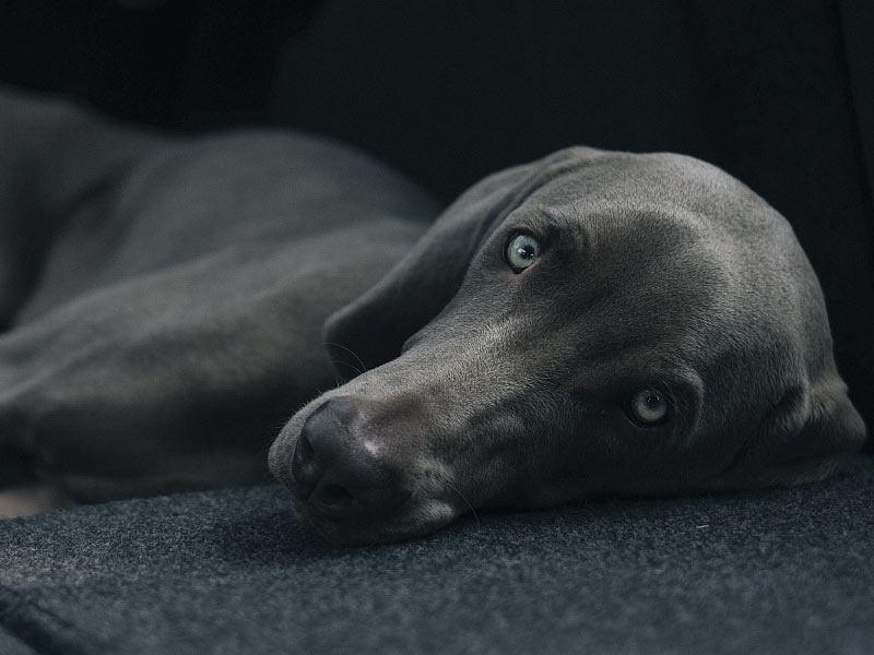 chien regarde halteopoils